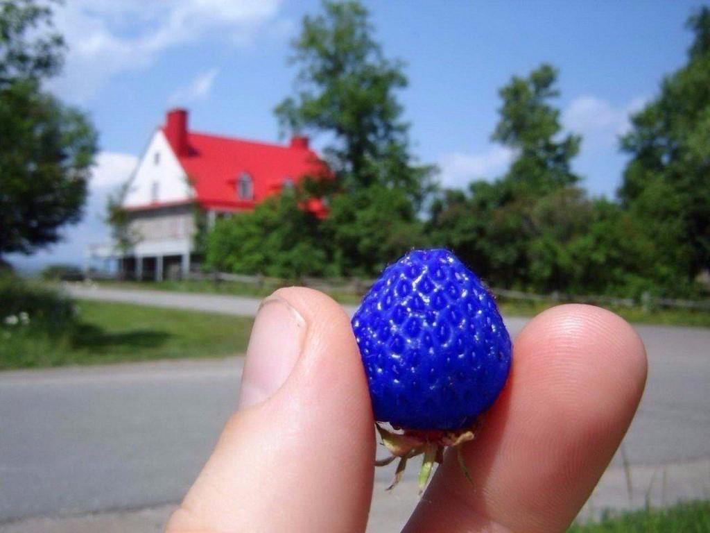 театре синяя клубника фото на грядке кубгу ушла